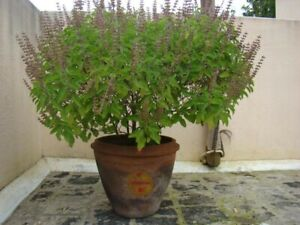 25 Holy Organic Tulsi Holy Basil seeds homemade ayurvedic indian, air purifying