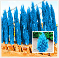 100 Pcs Seeds Cypress Trees Bonsai Conifer Blue Ice Exotic Cypress Tree Garden V