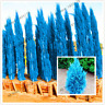 100 Pcs Seeds Cypress Trees Bonsai Conifer Blue Ice Exotic Cypress Tree Garden V
