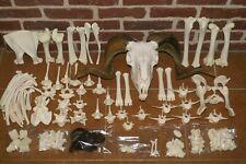real genuine ram sheep animal skeleton skull taxidermy anatomy vet medicine tool
