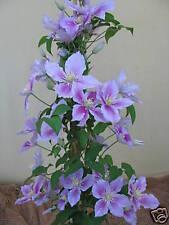 Waldrebe Clematis Hybride Pillu 60-80cm großblumiger Sommerblüher