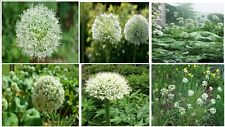 White Crystal Allium Ornamental Flower Over 25 + Seeds