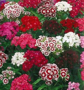 Dianthus Barbatus - Sweet William - Tall single mix  Appx 900 seeds - Annuals