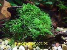 Muwse Islandmoos 1A 100g Moorgrün intensiv gereinigt präpariert gefärbt