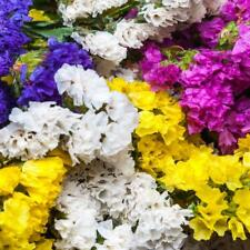 Statice Pacific Mix - appx 350 seeds - Annual - Limonium sinuatum