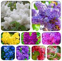 100 PCS Seeds Japanese Bonsai Lilac Flowers Plants Rare Free Shipping 2019 New N
