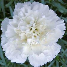 Clove Flower Seeds Dianthus Garden Grenadines White from Ukraine