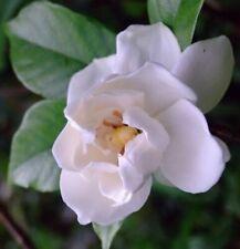 Cape Jasmine Gardenia  Fragrant  500 seeds Exotic Garden