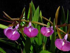 Do Clone- Bc. Star Ruby 'Xanadu', Cattleya Orchid, Brassavola nodosa, dark flwr!