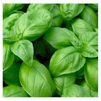 Curled Chervil SeedsNON-GMOFresh Garden Seeds