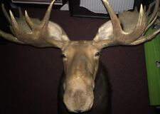 Incredible Moose Taxidermy Mount