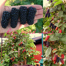 NEW RARE variety - 'karakaberry' 'Karaka Black' blackberry hybrid seeds.