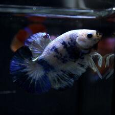 Live Betta Fish Male Fancy Galaxy White Blue Tiger HMPK