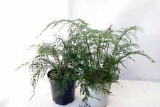 Asplenium daucifolium Grob, helecho, terrario, orquídeas ventana
