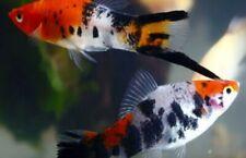 SWORDTAILS  Koi Tricolor live fish (1 PAIR )