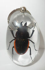 Insect Large Key Ring Golden Stag Beetle Odontolabis cuvera Specimen SK83 Clear