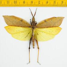 HOPPER/KATYDID - Orthoptera sp - Cameron Highlands - MALAYSIA - 6750