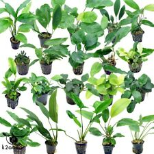 Anubias 30 species Live Aquarium Plants Tropical Fish Tank Aquascape Tank Co2 EU