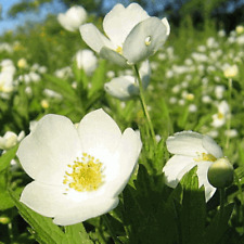 150 Canada Anemone Wildflower Seeds - Everwilde Farms Mylar Seed Packet