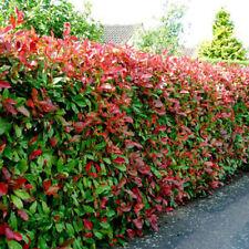 """Photinia Fraseri Red Robin """"Fotinia siepe"""" Pianta adulta in vaso altez 70-90 cm"""
