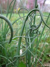 Schlangenknoblauch Allium sativum var. ophioscorodon Heilpflanze