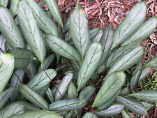 Ctenanthe Greystar - Tropical Groundcover - Striking Grey Foliage*