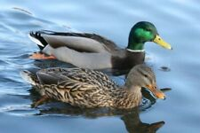 100 Mallard Ducks Hatching Eggs. Npip Cert. Shipping In Foam
