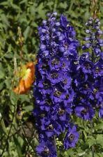 25+ MAGIC FOUNTAINS DARK BLUE W/DARK BEE DELPHINIUM  FLOWER SEEDS  / PERENNIAL