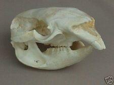 Wombat Skull Replica
