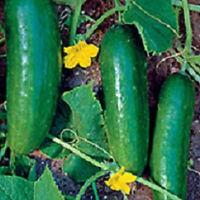 200 Ashley Cucumber Seeds 65 days Garden Seeds