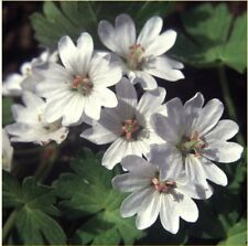 Fairy Flower Seeds Geranium Pyrenaicum Summer Snow x25 seeds Hardy perennial