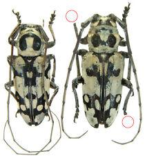 Insect - ****** Geloharpya confluens ****** - Tanzania - Pair 24mm ....!!