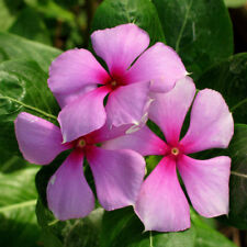 VINCA ROSEA NEW SEEDS ADDED TO YOUR COLLECTION 35 SEEDS PER PACK