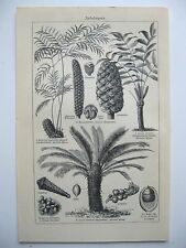 stampa antica old print PIANTE CYCAS CICAS - GERMANY 1923
