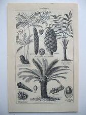 stampa antica old print PIANTE CYCAS CICAS - GERMANY 1923