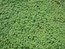 LAWN SEED - Microclover - Pipolina - Gmo Free - Eco Friendly - 500 g.