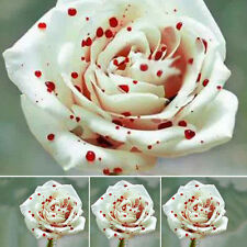 200pcs/Bag White Drop of Blood Rose Seeds Magical Perennial Flowers Plants Seeds