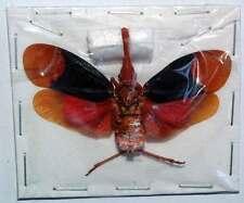 SCAMANDRA DIANA from TALIABU unmounted insect