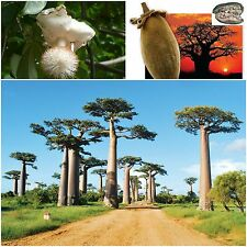 10 seeds of Adansonia digitata,African Baobab, Tree bottle, succulents seed C