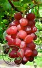 Seeds Ruby Roman Grape Bonsai Delicious Fruit Vegetables Organic Natural 10 Pcs