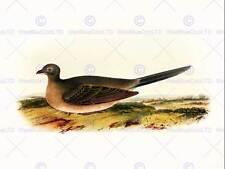 PAINTING BOOK PAGE BIRDS CASSIN TEXAN GUAN 12x16'' ART PRINT POSTER LAH747