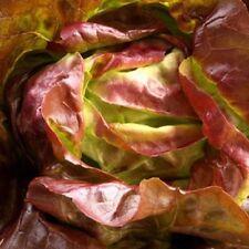 Vegetal Lechuga castaña D'hiver Rojo Invierno 25 gramos aprox 25,000 Semillas