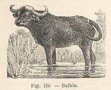 B1628 Bufalo - Incisione antica del 1924 - Engraving