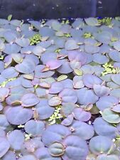 5 Pcs Red Root Floaters + Extras Easy Aquarium Floating Plant Pest Free B2G1 ✅