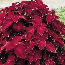Coleus Solenostemon 'Wizard Velvet Red' Fresh Seeds