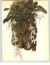 1922 Color Book Plate Framable Orchid Images  Aerangis citratum White Blossoms