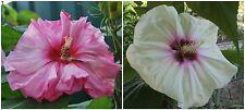 Hibiscus Moscheutos lot N6: ROSE intense / BLANC, fleur de 26 cm!!! 20 graines
