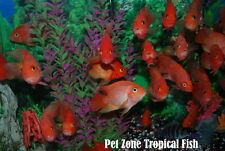 King Kong Parrot Fish Cichlid - High Quality, True KKP