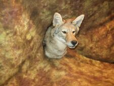 Gorgeous Coyote Wall mount Taxidermy Texas Hunt Deer Traps Antlers Fox Log Cabin