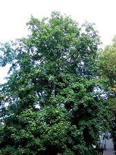 acer Acer platanoides Alveole 1 Pflanze Norwegen Ahorn Ahorn Riccio